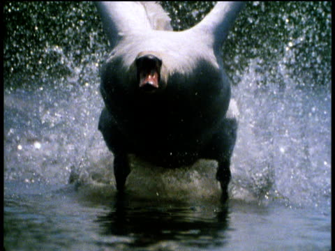 swan takes flight from river - cigno video stock e b–roll