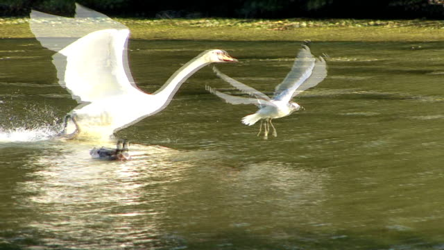 swan taking off from lake - water bird stock videos & royalty-free footage