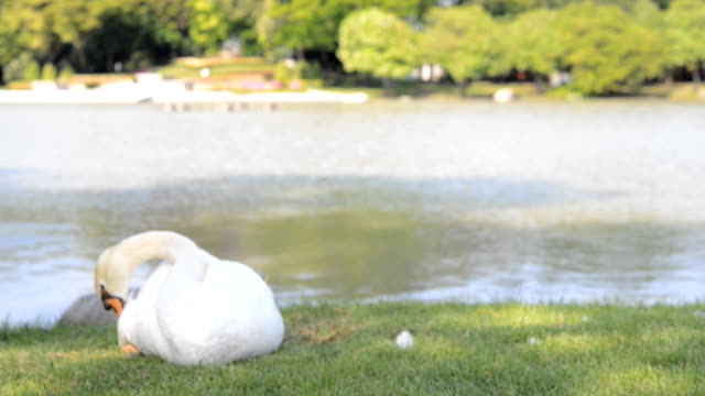 swan - animal neck stock videos & royalty-free footage