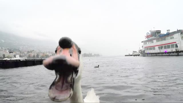 swan - swan stock videos & royalty-free footage
