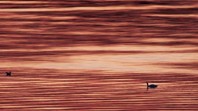 swan - animal markings stock videos & royalty-free footage