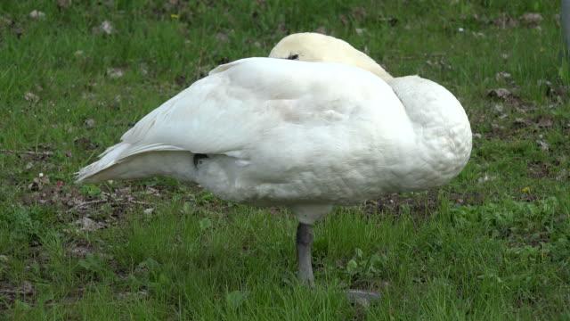 swan - auf einem bein stock-videos und b-roll-filmmaterial