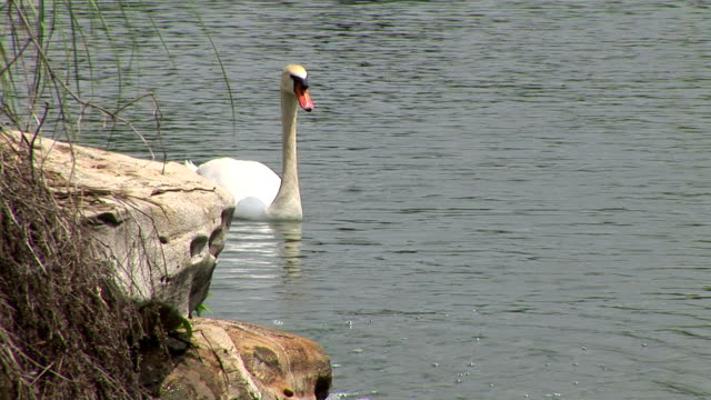 swan - aquatic organism stock videos & royalty-free footage