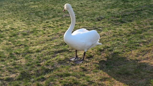 vídeos y material grabado en eventos de stock de swan walking on the ground and looking at something. germany. - cisne blanco común