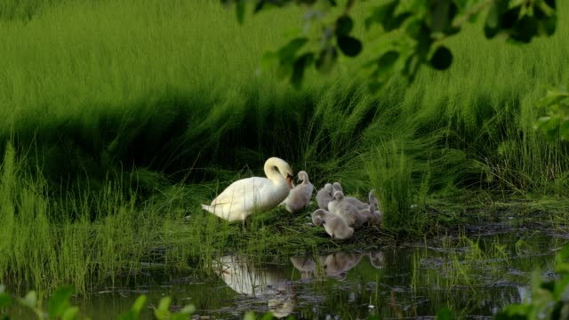 swan with chicks on the lake - animal nest stock videos and b-roll footage