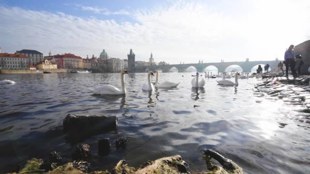 swans against charles bridge in prague - praga video stock e b–roll
