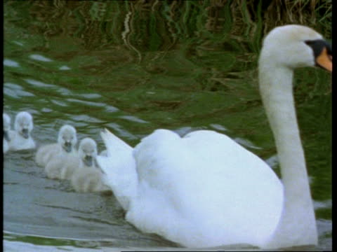 Swans and cygnets on river, moving past camera, England, UK