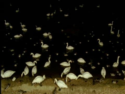 Swans and ducks on lake at night