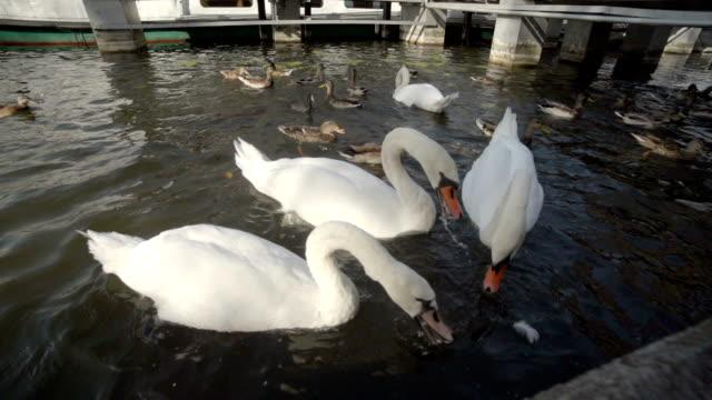 stockvideo's en b-roll-footage met swans and ducks - knobbelzwaan