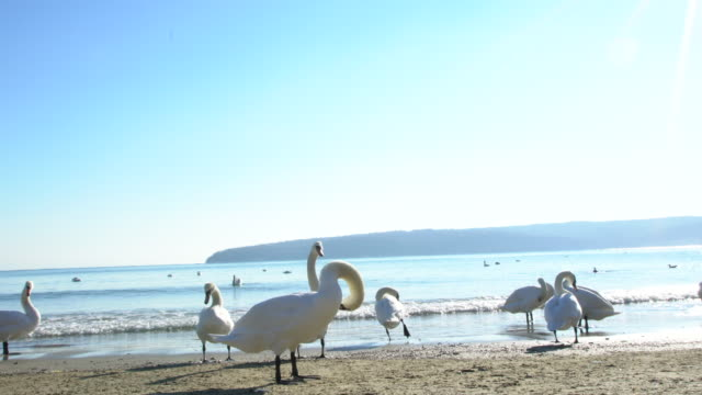 swans and other birds on a beach during a cold winter day - bulgarien stock-videos und b-roll-filmmaterial