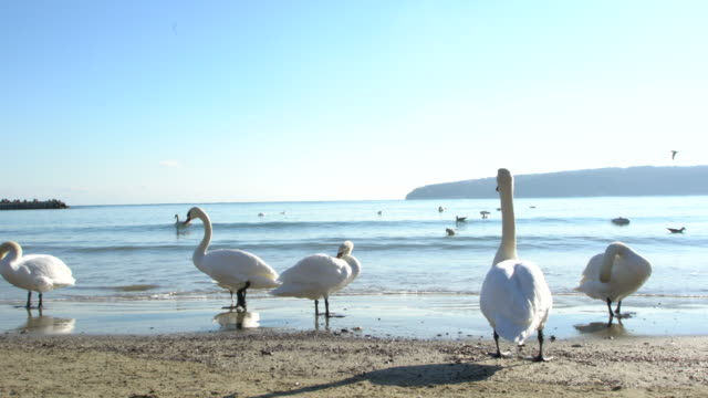 Swans And Other Birds On A Beach During A Cold Winter Day
