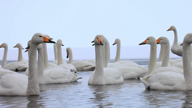 ms swans at lake akan in akan national park / teshikaga, japan - cigno video stock e b–roll