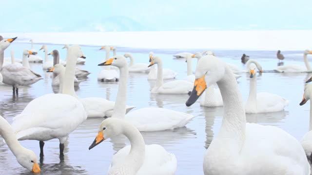 vidéos et rushes de ms swans at lake akan in akan national park / teshikaga, japan - cygne