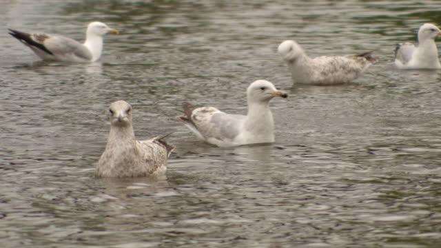 vidéos et rushes de ms swans, ducks and seabirds in river / exeter, united kingdom - petit groupe d'animaux
