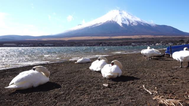 Swans Enduring Strong Winds at Lake Yamanaka