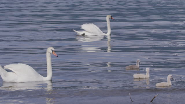swans floating at lake-yamanakako in japan - cigno video stock e b–roll