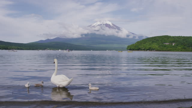 Swans floating at Lake-Yamanakako in Japan
