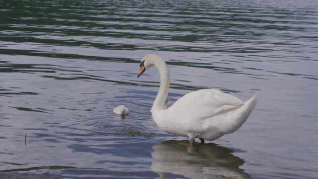 swans floating at lake-yamanakako in japan - cygnet stock videos & royalty-free footage