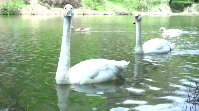 swans floating on a lake - cigno video stock e b–roll