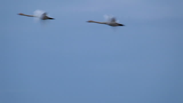 stockvideo's en b-roll-footage met swans flying during spring migration - two animals