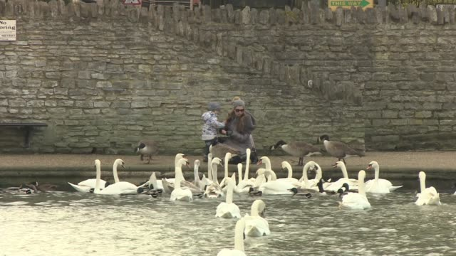 vídeos de stock, filmes e b-roll de 20 swans from windsor flock die from suspected bird flu england ext various shots of swans near river wide shot of woman and child feeding swans and... - organismo aquático