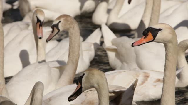 stockvideo's en b-roll-footage met cu swans heads pecking each other/england - pikken
