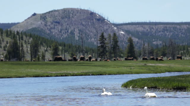 Swans nel Fiume Firehole Yellowstone NP
