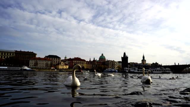 schwäne vor der karlsbrücke in prag, tschechische republik - tschechische kultur stock-videos und b-roll-filmmaterial