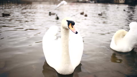 swans in prague - eastern european culture stock videos & royalty-free footage