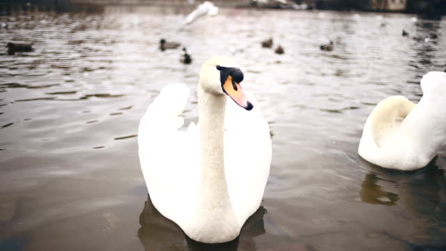 swans in prague - czech culture stock videos & royalty-free footage