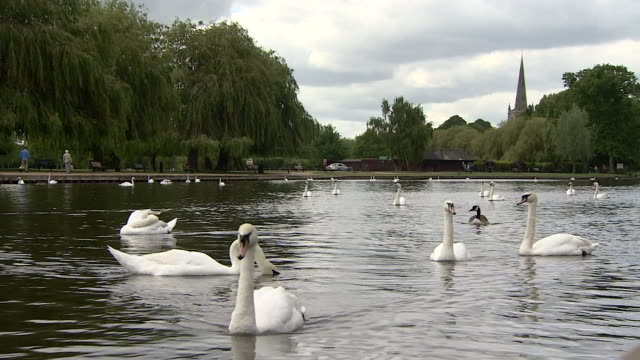 swans in stratford-upon-avon - spring flowing water stock videos & royalty-free footage