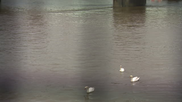 swans in the river thames near the houses of parliament - beak stock videos & royalty-free footage