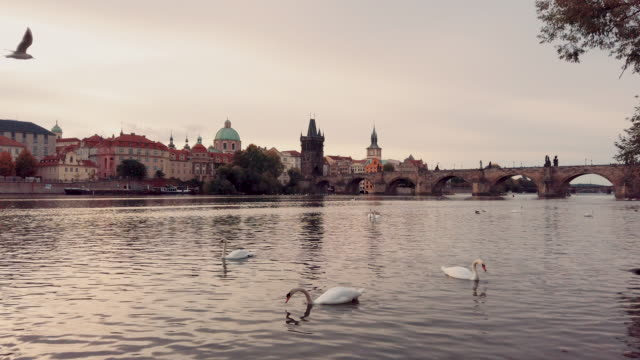 swans in  vltava river and charles bridge in prague in czech republic - traditionally czech stock videos & royalty-free footage