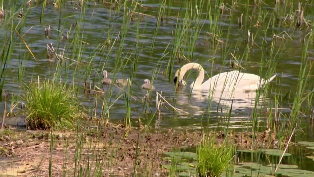 swans in water - young animal stock videos & royalty-free footage
