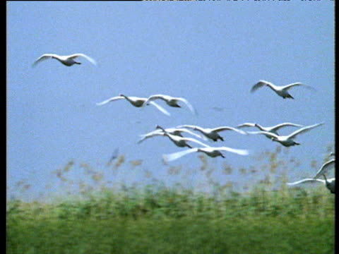 Swans land on water, Volga Delta