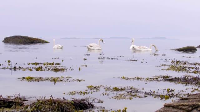 swans looking for food in the water edge, norway - stavanger stock videos & royalty-free footage