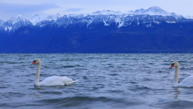 vidéos et rushes de swans on lake geneva in the late afternoon on december 21 2019 in lausanne switzerland - cygne