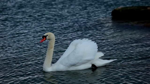 stockvideo's en b-roll-footage met swans on lake geneva - knobbelzwaan