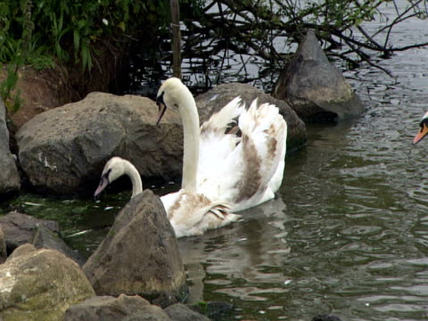 Swans on lake, wildlife care, protection, family