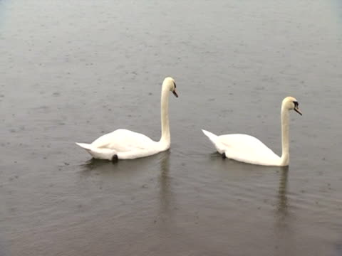 swans on river in heavy rain - aquatisches lebewesen stock-videos und b-roll-filmmaterial