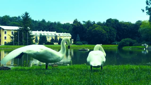 Swans on the grass.