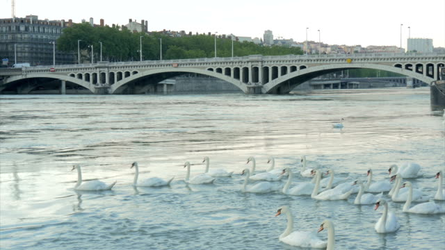 swans on the river rhone ,lyon - rhone river stock videos & royalty-free footage