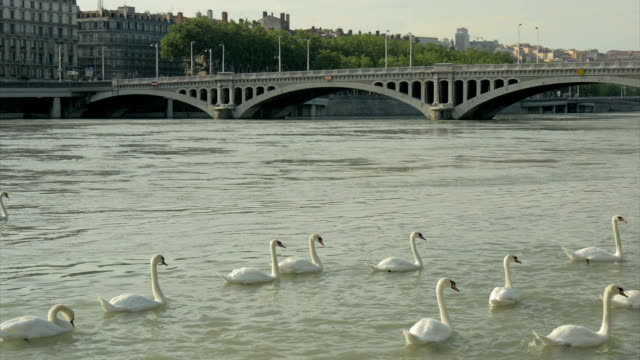 swans on the river rhone ,lyon,pan - rhone river stock videos & royalty-free footage