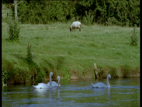 stockvideo's en b-roll-footage met swans swim on river whilst sheep grazes in field, england - knobbelzwaan