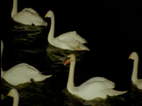 Swans swim past on lake at night