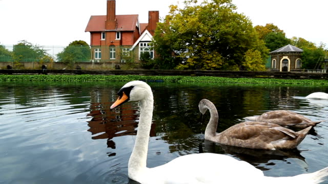 swans swimming on the river - natural parkland stock videos & royalty-free footage