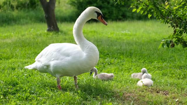 白鳥 - 白鳥の子点の映像素材/bロール