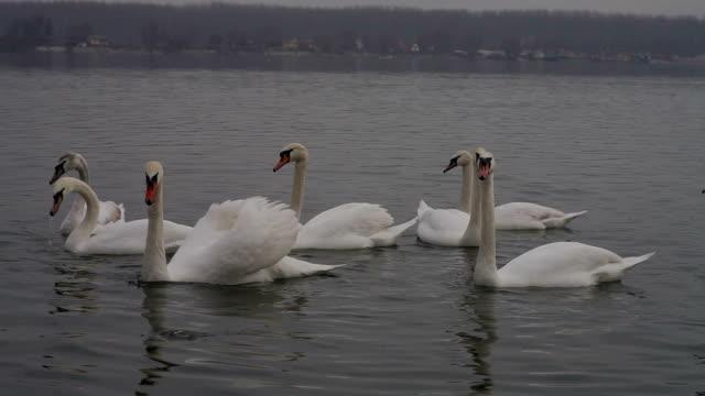 swans - mute swan stock videos & royalty-free footage