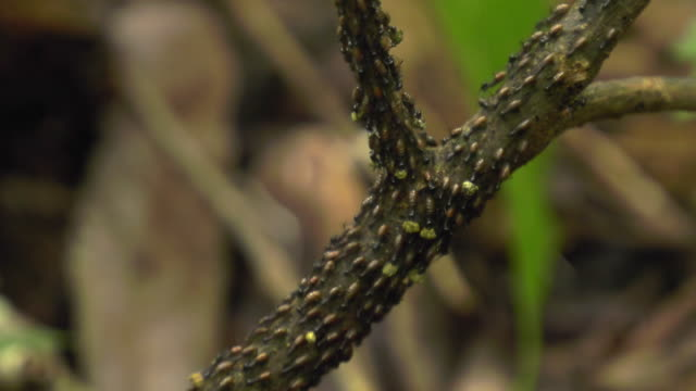 swarm of ants moving food on a branch in sumatra island, indonesia - ameise stock-videos und b-roll-filmmaterial