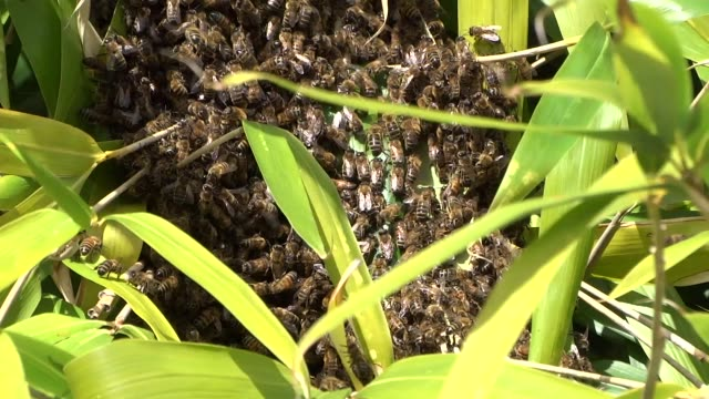 国産ミツバチの群れ - ブンブン鳴る点の映像素材/bロール